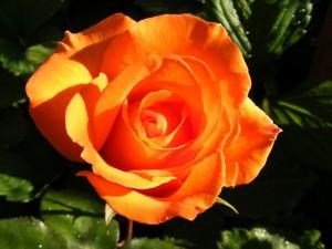 poza Trandafiri de gradina Remy Martin, tufe formate cu radacina in ghivece de 3.5 litri