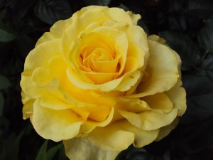 poza Trandafiri de gradina Mabella, butasi cu radacini in ghivece de 3.5 litri