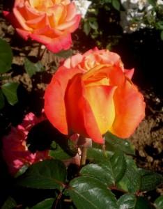 poza Trandafiri de gradina Honolulu cu radacina in ghivece de 3 litri