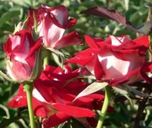 Poza  Trandafiri de gradina cu radacina Alianz