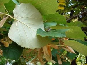 poza Arbori foiosi TILIA TOMENTOSA / TEIUL ARGINTIU 10/12 circumf. trunchi (50 litri)