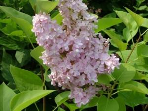 Poza  Liliac parfumat cu flori simple Syringa vulgaris `Belle de Nancy`