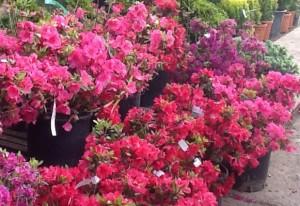 poza Arbusti cu flori AZALEA JAPONICA ghiveci de 7 litri, planta cu diam de 40cm