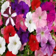 poza PETUNIA HYBRIDA GRANDIFLORA BLUE / Petunia de gradina cu floare mare Flori de gradina anuale in ghiveci de 9 cm
