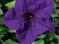 poza PETUNIA HYBRIDA GRANDIFLORA BLUE / Petunia de gradina cu floare mare. Flori de gradina anuale in ghiveci de 9 cm.