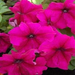 poza PETUNIA HYBRIDA GRANDIFLORA BURGUNDY / Petunia de gradina cu floare mare. Flori de gradina anuale in ghiveci de 9 cm.