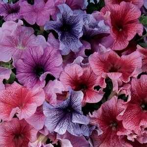 Poza Petunia hybrida grandiflora / Petunia de gradina cu floare mare. Flori de gradina anuale in ghiveci de 9 cm