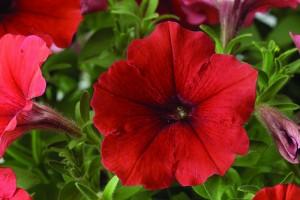 poza PETUNIA HYBRIDA GRANDIFLORA RED IMPROVED/ Petunia de gradina cu floare mare. Flori de gradina anuale in ghiveci de 9 cm.