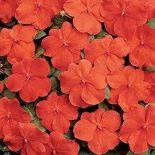 poza Flori de gradina anuale IMPATIENS WALERIANA ORANGE / SPORUL CASEI Flori la ghivece de 12 cm