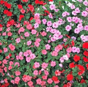 Poza Flori de gradina anuale Impatiens waleriana / Sporul casei Flori la ghivece de 10.5cm.