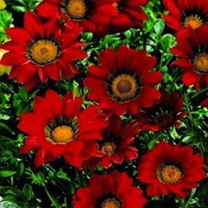 poza Flori de gradina anuale GAZANIA SPLENDENS RED/ Gazania. Flori la ghivece de 9 cm.