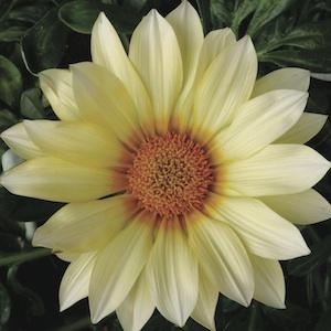 poza Flori de gradina anuale GAZANIA SPLENDENS VANILA/ Gazania. Flori la ghivece de 9 cm.