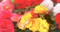 poza Flori de balcon BEGONIA TUBERHYBRIDA SWIFT MIX ghiv 12 cm