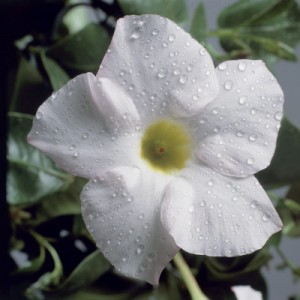 poza Flori de balcon DIPLADENIA ALBA ghiv 12 cm  h=30-35 cm