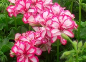 poza Plante de balcon muscate curgatoare cu floare dubla (Pelargonium peltatum satirat alb-rosu Mexicana Ruby)