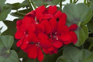 poza Plante de balcon muscate curgatoare cu floare dubla (Pelargonium peltatum rosu Royal Fire)
