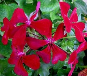 poza Plante de balcon muscate curgatoare cu floare simpla (Pelargonium peltatum Blizzard Dark Red