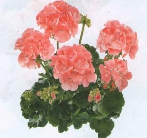 poza Plante de balcon muscate Pelargonium zonale Rosetta (culoarea piersicii)