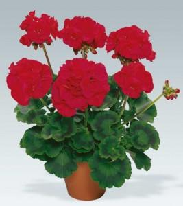 poza Plante de balcon muscate Pelargonium zonale Anthony