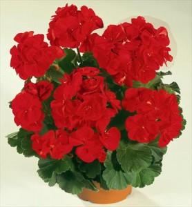 poza Plante de balcon muscate Pelargonium zonale FERNANDO rosii