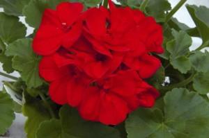 poza Plante de balcon muscate Pelargonium zonale SAMANTHA