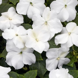poza Flori de gradina anuale IMPATIENS WALERIANA WHITE / SPORUL CASEI Flori la ghivece de 12 cm