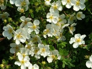 poza Arbusti foiosi cu flori POTENTILA/POTENTILLA FRUTICOSA Abbotswood ghiveci 3-5 litri