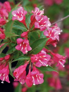 poza Arbusti cu flori WEIGELAPink Princess ghiveci 5-7 litri, h=50-60cm