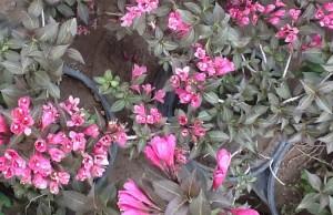 poza Arbusti cu flori WEIGELAPurpurea ghiveci 5-7 litri, h=60-80 cm