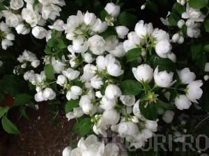 Poza  Arbusti gradina Philadelphus`Virginal`(iasomie cu flori duble)