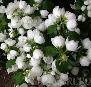 poza Arbusti parfumati PHILADELPHUS CORONARIUS VIRGINAL /Iasomie flori duble h= 30-40 cm ghiveci 3  litri