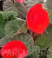 poza Flori de balcon BEGONIA TUBERHYBRIDA ROSIE ghiv 12 cm