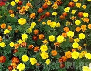 poza Flori de gradina TAGETES PATULA NANA/CRAITE. MIX Flori in ghivece de 9 cm