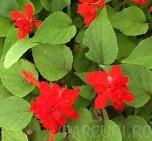 poza Flori de gradina anuale SALVIA SPLENDENS/SALVIA ROSIE . Flori la ghiveci de 9 cm.