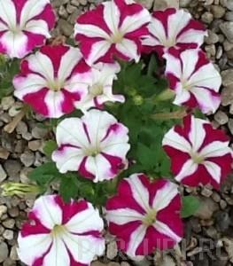 poza PETUNIA MILLIFLORA PICOBELA ROSE STAR Petunia de gradina. Flori de gradina anuale in ghiveci de 9 cm.
