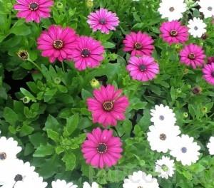 poza Flori de balcon OSTEOSPERMUM ghiv =12cm