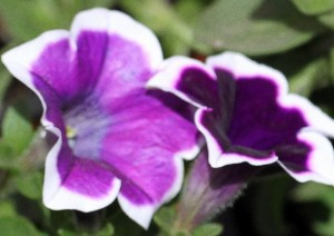poza PETUNIA HYBRIDA GRANDIFLORA BLUE CU BORDURA / Petunia de gradina cu floare mare. Flori de gradina anuale in ghiveci de 9 cm.