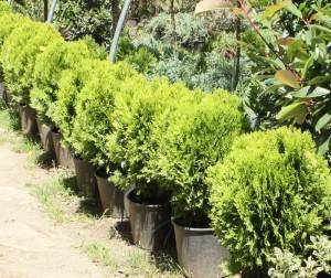 poza Arbusti rasinosi forme THUJA ORIENTALIS AUREA NANA ghiveci 12 litri, 50-60 cm diam