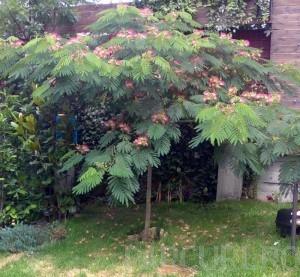 poza Arbori foiosi ALBITIA JULIBRISSIN OMBRELA /Arborele de matase 12/14 circumf. trunchi (50-70 litri)