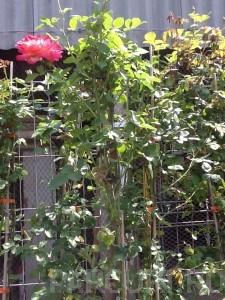 poza Plante cataratoare TRANDAFIRI URCATORI h=2m, clt 3 lt pentru perdele de plante agatatoare