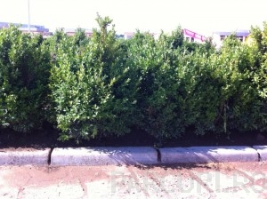 Poza Buxus sempervirens