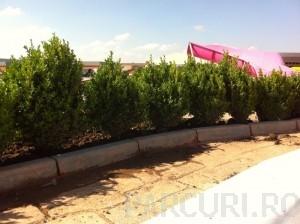 poza Arbusti evergreen BUXUS SEMPERVIRENS (cimisir sau merisor), ghivece 18 litri, h= 50-60 cm pt garduri vii