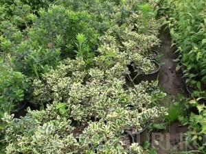 poza Arbusti cu frunze persistente ILEX AQUIFOLIUM ARGENTEOMARGINATA ghiveci 7 litri, h=30-40cm pt garduri vii