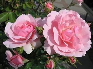 poza Trandafiri de gradina Polyantha Bonica, planta formata cu radacina in ghiveci de 3.5 litri
