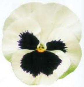 poza Flori bienale: Viola witrokiana soiul `White with Blotch` / Panselute in ghivece de 9 cm