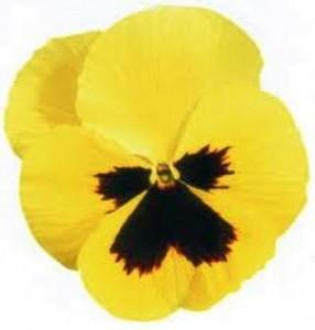 poza Flori bienale: Viola witrokiana soiul `Primrose with Blotch`/ Panselute in ghivece de 9 cm