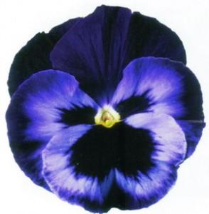 poza Flori bienale: Viola witrokiana `soiul Neon Violet`  /Panselute in ghivece de 9 cm