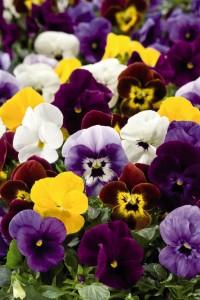 poza Flori bienale: Viola cornuta Rocky F1/Panselute in ghivece de 9 cm/toate culorile