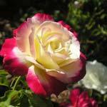 poza Trandafiri de gradina Double Parfume/Double Delight, butasi cu radacini in ghivece de 3 litri