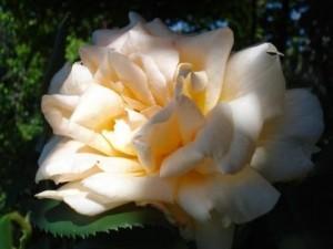 poza Trandafiri de gradina The Lady, plante formate cu radacina in ghivece de 3 litri